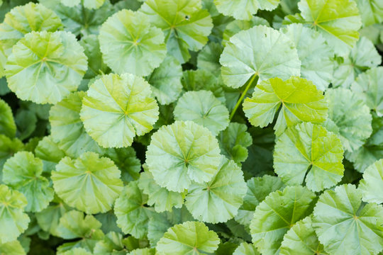 Background of a lawn with the dwarf mallow closeup