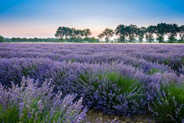 Champ de lavande au lever du soleil, Provence, France