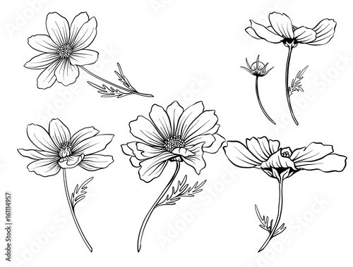 Cosmos Flowers Set Of Outline Stock Line Vector Illustration Hand Drawing
