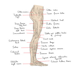 leg muscles lateral text