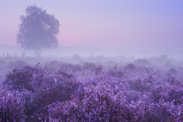 Fog over blooming heather in The Netherlands at dawn