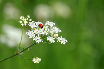 Seven Spotted Ladybug on White Flowers