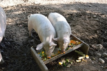 Two Pigs Eating at the Trough