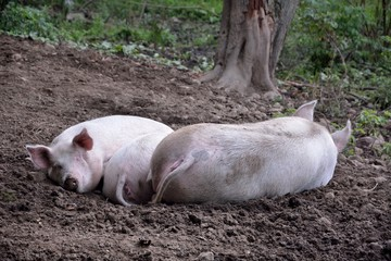 Pigs Napping on an Organic Family Farm