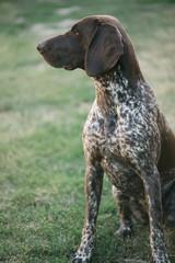 Cute German pointer dog portrait