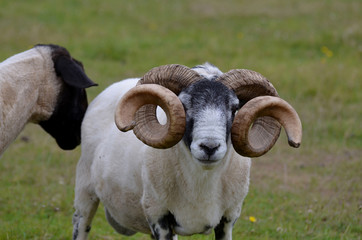 Ram with Curling Horns on a Farm in Inverness Scotland