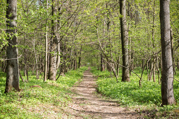 Fototapete - Long trail through a beautiful forest. Summer landscape.