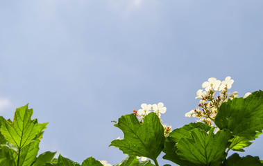Blue sky background with white flowers