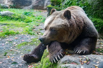 bear brown grizzly in the forest background