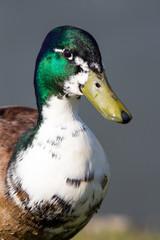 Manky or hybrid domestic male mallard duck. Drake mallard with white neck.