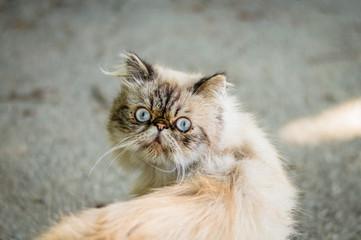 Weird persian cat.