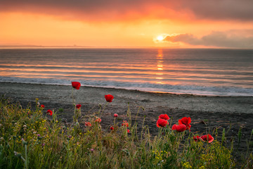Seascape with poppies / Magnificent sunrise view with beautiful poppies on the beach near Burgas, Bulgaria
