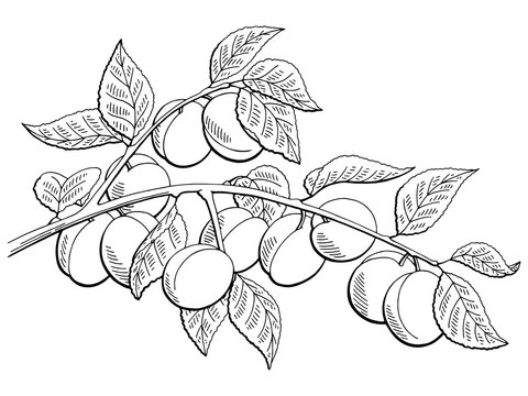 Apricot fruit graphic branch black white isolated sketch illustration vector