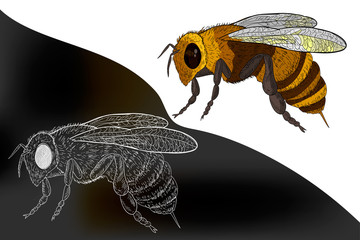Honey bee (Apis mellifera).  Hand drawn engraving Sketch