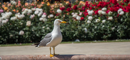 Single seagull in the park