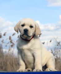 Fototapeta little cute labrador puppy on a blue background