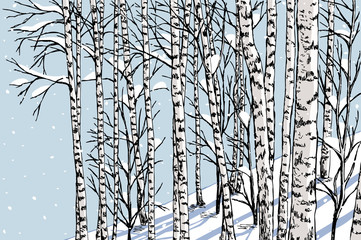 birch grove in the winter
