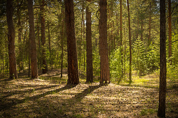 Sunny clearing in the forest on a summer day with shadows from the pine trees