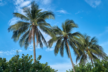 Palm trees with a blue sky at a beach in Nha Trang, Vietnam.