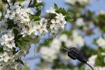 Spraying cherry flowers, focus on flowers.