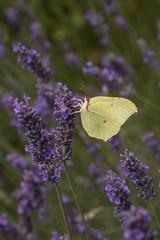 farfalle sulla lavanda