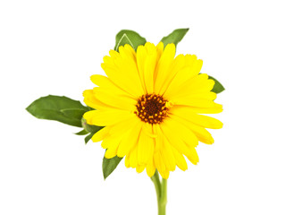 Flower of calendula isolated on a white background, close up