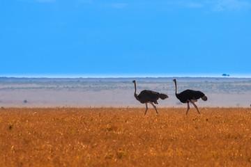 Wall Mural - Two ostrich on the horizon. Savannah. Africa Kenya.