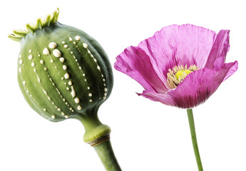 Opium  - latex flows from immature macadamia (Poppy seed - Papaver somniferum)