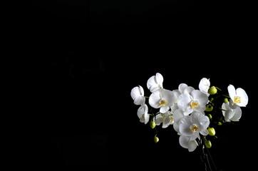 Fototapeta piękny biały storczyk w pokoju