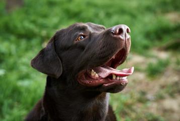 A dog labrador, a dog, a labrador walks, a dog stuck out his tongue
