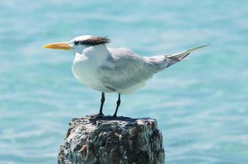 Seagull - Anse de Saint Anne - Guadeloupe - Caribbean tropical island