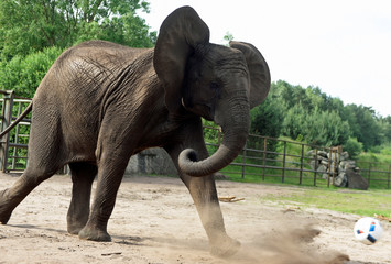 "Elephant Nelly kicks a ball as an ""animal oracle"" to predict results of the Germany vs Ukraine match at Euro 2016 in the ""Safari Park"" in Hodenhagen"