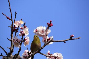 Japanese White-eye bird on plum tree  in Osaka,Japan
