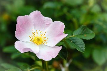 Flor de Escaramujo, Rosal Silvestre. Rosa canina.