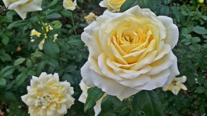 Yellow rose flower field