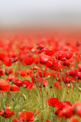 Photo of beautiful red poppies