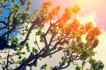 Fig tree in spring against blue sky at sunset