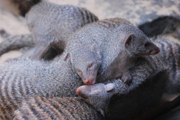Pile of Sleepy Mongooses