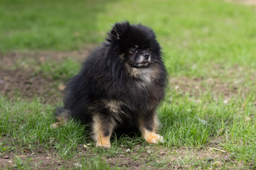 Pomeranian black dog sitting happy on green grass