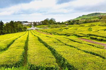Tea Plantation at Cha Gorreana on Sao Miguel Island