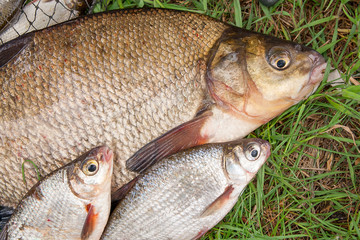 Big freshwater common bream and white bream or silver bream fish with fishing rod with reel on natural background..
