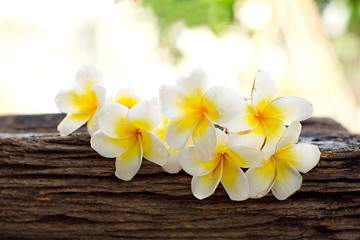 Group of beautiful Plumeria flower on old dry timber with blurred bokeh of light background