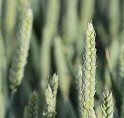 Green wheat spike