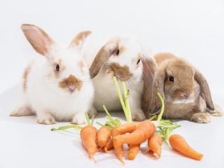 Three baby Holland Lop rabbit on white ground