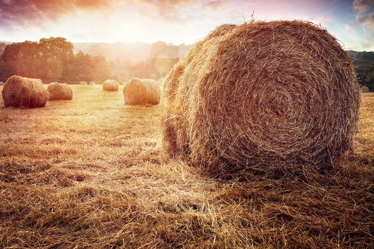 Hay bales harvesting in golden field at sunset