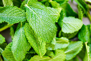Macro View of Mint Leaves, Green Mint Leaves Background using for Summer Wallpaper, Horizontal View