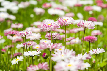 Pink and white flowers in a garden, nature background