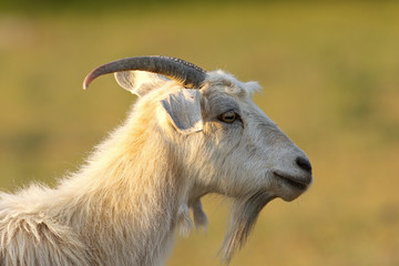 bearded white goat