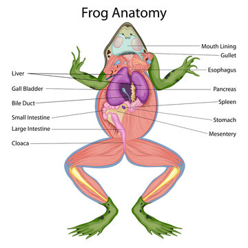 Education Chart of Biology for Dissected body of Frog Diagram