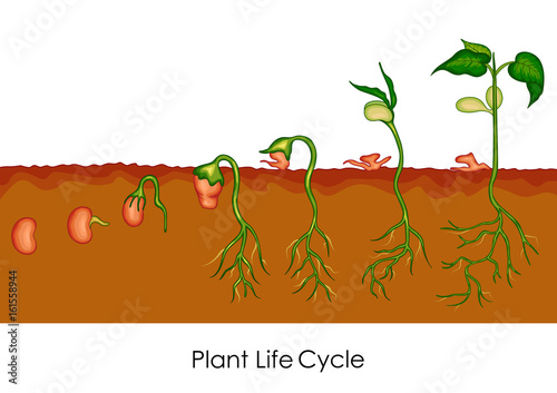 Education Chart Of Biology For Plant Life Cycle Diagram Stock Image